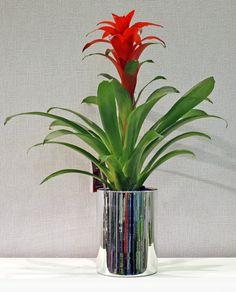 Γκουζμάνια σε καθρεπτιζέ κύλινδρο Plants, Plant, Planets