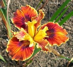 World of Irises: Garden Visit: Pacific Coast Iris at Leonine Iris Gardens, Pt.2