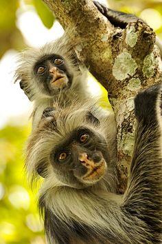 Monkeys, Zanzibar... ...........click here to find out more http://googydog.com