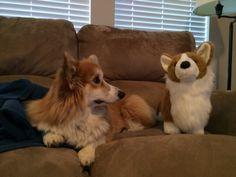 Lizzie the fluffy Corgi and her stuffed replica