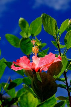 Hibiscus/ ハイビスカス | by ( ´_ゝ`) Sho on Flickr