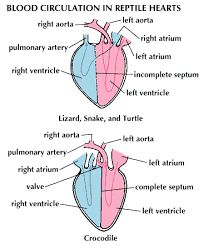 Snake circulation diagram block and schematic diagrams 25 best gvelebi images on pinterest animais animaux and reptiles rh pinterest com blood circulation in the heart heart lung circulation diagram ccuart Gallery