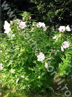 plante-perene-gradina-hibiscus-moscheutos
