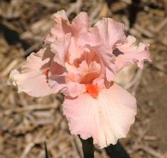 Image Result For October Splendor Border Iris Iris October Plants