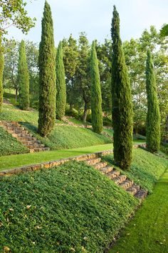 Italian cypress trees on the terraced lawn of within the Napa Valley gardens at the Staglin Family vineyard