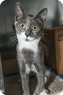 Grayson, a kitten up for adoption at the Humane Society of New York.