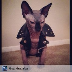 OK, I have officially found Mrs. Dodds in mini size.                       Sphynx Cats That Are Terrifyingly Cute (Buzzfeed)