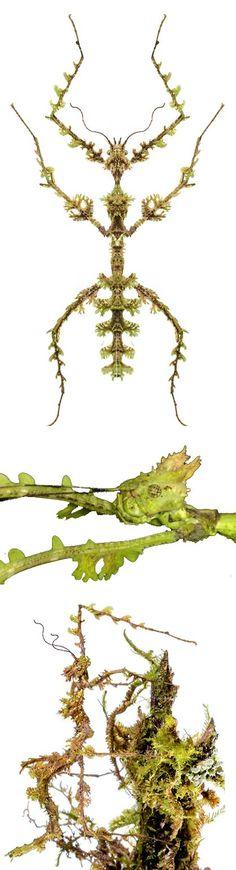 Trichopeplus laciniatus