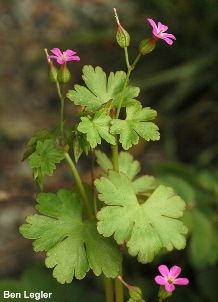 Shiny geranium (Geranium lucidum) - Tier 1 invasive in Md.  Haven't seen it yet but it looks like the kinda thing I'd think was native and let take over the yard, cursing myself for years to come.