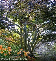 European Beech - this looks like a perfect tree to climb...