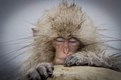 Wide angle shot of a sleeping snow monkey by Menno Dekker - Photo 73022827 - 500px