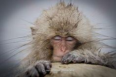 Wide angle shot of a sleeping snow monkey by Menno Dekker - Photo 73022827 - 500px