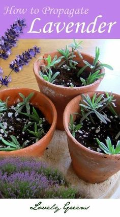to Propagate Lavender from Cuttings Plants for free! How to create dozens of lavender plants from a single parent plantPlants for free! How to create dozens of lavender plants from a single parent plant Herbs, Plants, Garden, How To Propagate Lavender, Lavender Plant, Herb Garden, Propagating Plants, Container Gardening, Gardening Tips
