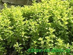 Dobromysl obecná   Zdraví na dlani Herbs, Gardening, Fitness, Lawn And Garden, Herb, Horticulture, Medicinal Plants