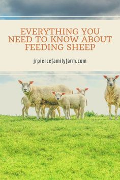 Are you ready to start raising sheep on your small farm? Here's everything you need to know in order to feed your sheep, from what to feed them to what to avoid. #raisingsheep #whattofeedsheep #sheepfoodideas #sheepfood #feedingsheep #farming #homestead Raising Farm Animals, Raising Goats, Raising Chickens, Sheep Breeds, Sheep Farm, Small Farm, Tiny Farm, Organic Farming, Organic Gardening