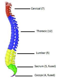 The Human Vertebral Column