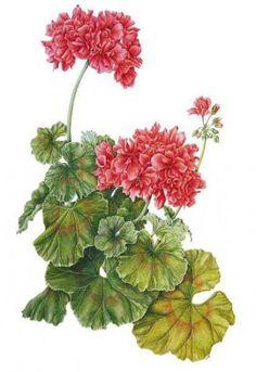 Pelargonium, by Sue Woodfine