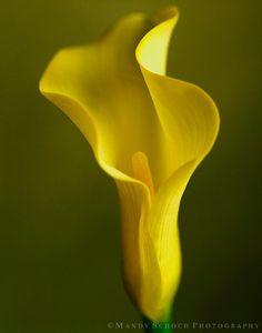Resultado de imagem para yellow calla lily
