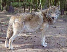 photo Wolf_zpsmtambljk.jpg
