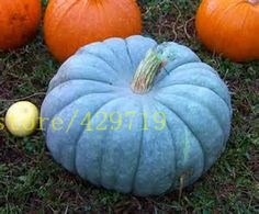 Vegetable seeds 20pcs blue pumpkin seeds Perennial Rare Ornamental edible Blue Jarrahdale Pumpkin for eat and DIY home gardening