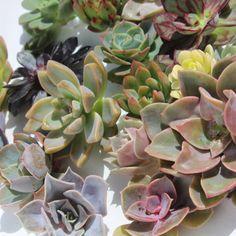 rosette succulents 25 rosette succulent cuttings succulent