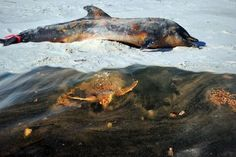The Deepwater Horizon oil spill happened in the Gulf of Mexico nearly three years ago, but the estimated 4.9 million barrels of oil that it released are still killing dolphins, sea turtles and other marine life in record numbers, according to new research.