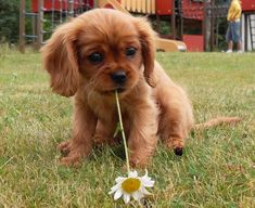 Adorable Fluffy Cavalier King Charles Spaniel Puppy with a Daisy in its mouth: - My Doggy Is Delightful Cute Little Animals, Cute Funny Animals, Spaniel Puppies, Cocker Spaniel, Cute Dogs And Puppies, Doggies, Fluffy Puppies, Adorable Puppies, Dalmatian Puppies