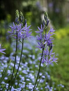 Camassia and forget-me-nots