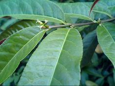 大戟科-青紫木(紅背桂) 與 斑葉青紫木 @水晶蘭的種子花草格 :: nidBox親子盒子