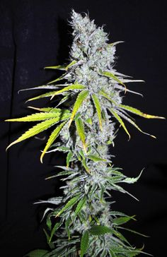 #freeweed CBD Crew - Skunk Haze | Get the best price on #cannabis seeds at http://comparetheseedbank.com #marijuana #weed #420