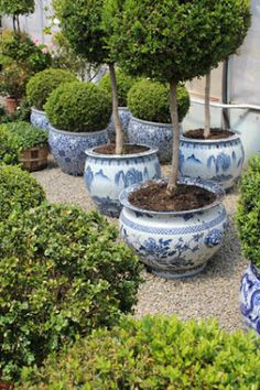Topiaries in blue and white planters.