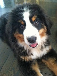 via the daily puppy;  Puppy Breed: Bernese Mountain Dog  Hi, my name is Riley. I love sticks, nylabones, running really fast down hills, and taking naps in my mama's closet. I was born in Pennsylvania but live in Manhattan, and I just love city life--my social agenda is so busy, I'm practically a New York socialite (with really big paws).