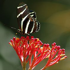 Glowing red Jatropha and Zebra long-wing - Flickr - Photo Sharing!