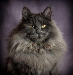 Raphael Shonbob's: our breeding Kurilian Bobtail boy Bobtail Cat, Cattery, Cool Cats, Kitty, Paintings, Pictures, Animals, Little Kitty, Photos