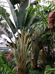 """Strelitzia nicolai """"Giant Bird of Paradise"""" - Buy Online at Annie's Annuals"""