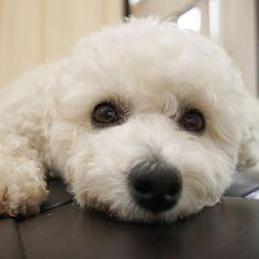 #poodle #bichon #bichpoo #bichonfrise #poochon #rescuedog #paws #dogs  #petsofinstagram @maviswangphoto #instadog #dogsofinstagram