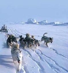 Siberian Huskies Husky Puppies Puppy Best Guard Dogs