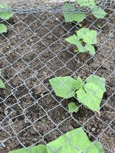 Adding a chain link fence above the cucumbers will allow them to grow above the ground.
