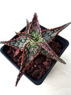Aloe x
