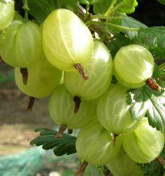 Gooseberries.