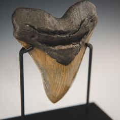 An award we did for Discovery Channel. A 12 million year old Megalodon Tooth. This thing was 4'' wide and 6'' tall. Amazing. Follow us on instagram! Search Bennettawards Custom Awards, Recognition Awards, Megalodon, Discovery Channel, Tooth, Photo And Video, Search, Unique, Amazing