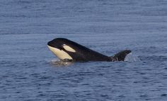 Orca calf Scarlett (J50). Photo by Andrew Lees, Five Star Whale Watching, Victoria BC