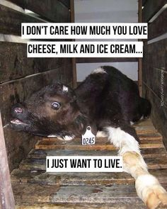 #vegan reality check  Is a sip of milk worth his pain?  Is ice cream worth his small life kept in a box to be veal?  There are too many alternatives - this is a choice.
