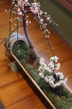 Sweet Weeping Cherry Bonsai With Moss In A Unique Planter. Sweet Weeping Cherry Bonsai With Moss In A Unique Planter. Mini Bonsai, Bonsai Indoor, Cherry Bonsai, Bonsai Plants, Bonsai Garden, Bonsai Trees, Cherry Tree, Potted Plants, Ikebana