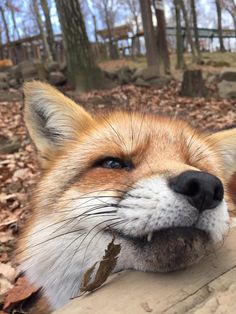 A must visit! Cuteness overload freely roaming foxes at Zao Fox Village in Miyagi prefecture, Japan.