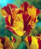 Parrot Tulips - Variegated Red and Yellow