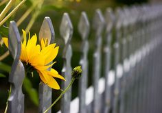 flowers by the fence