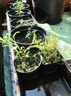 Dorstige planten: water geven tijdens je vakantie in de (moes)tuin.