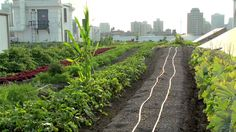 Brooklyn Grange - A Rooftop Farm | (technically the farm is in LIC Queens)
