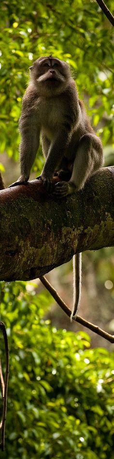 Bali monkey in a jungle tree on the Ubud Monkey Forest Trail